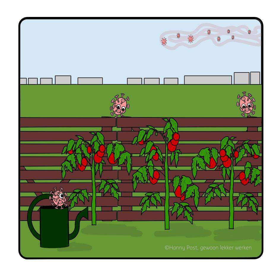 tomaten kweken in coronatijd